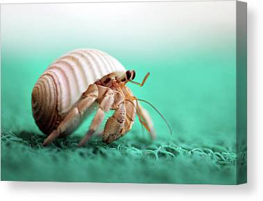 Hermit Crab Canvas Prints