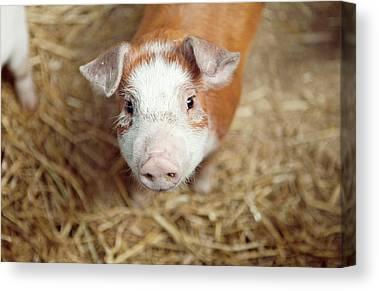 Pig Photographs Canvas Prints