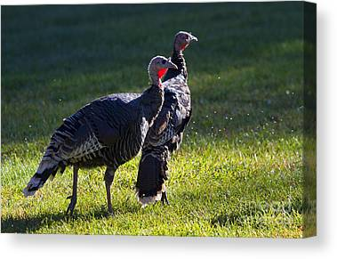 Wild Turkey Photographs Canvas Prints