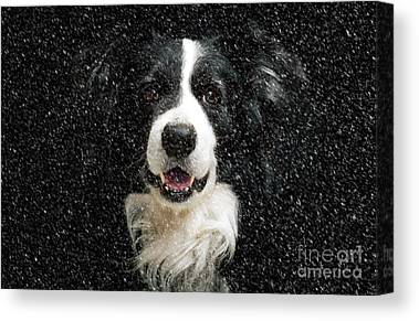 Border Collies Canvas Prints