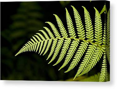 Ferns Photographs Canvas Prints
