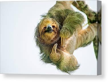Sloth Photographs Canvas Prints