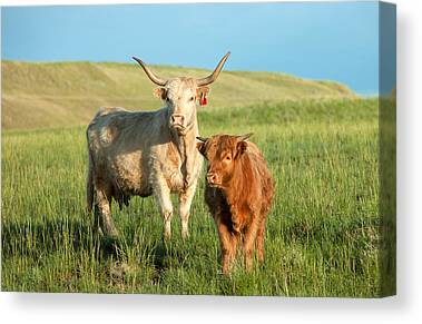 Cattle Canvas Prints