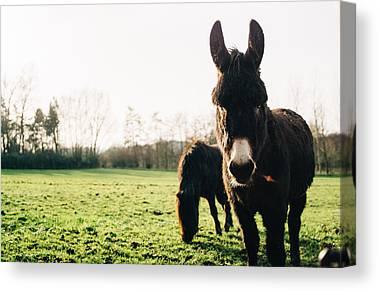 Ponies Photographs Canvas Prints