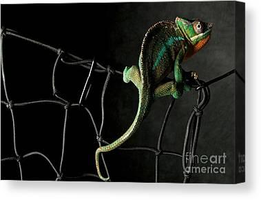 Chameleon Canvas Prints