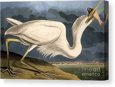 Great White Heron Canvas Prints