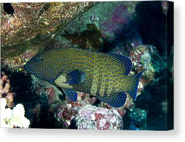 Peacock Grouper Canvas Prints
