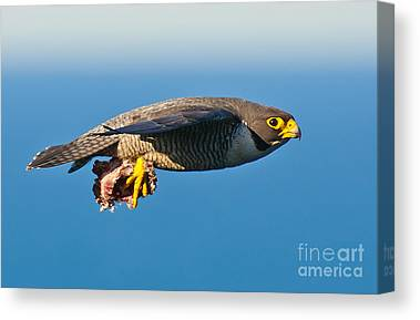 Fastest Bird In Canada Canvas Prints