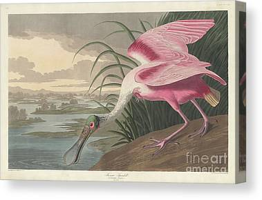 Spoonbill Drawings Canvas Prints