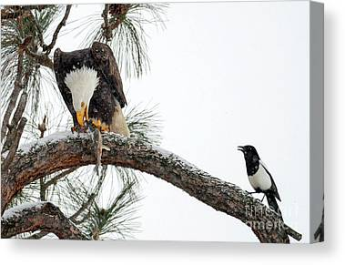 Black-billed Magpie Canvas Prints