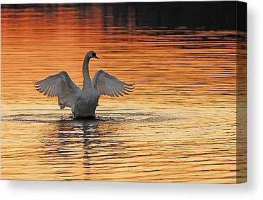 Lake Morning Water Nature Birds Early Am Canvas Prints