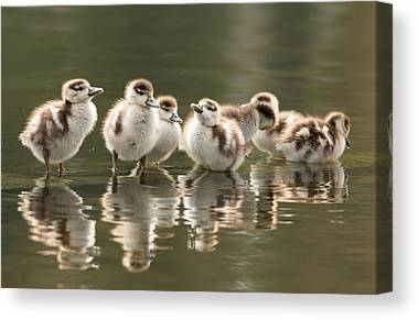 Baby Geese Canvas Prints