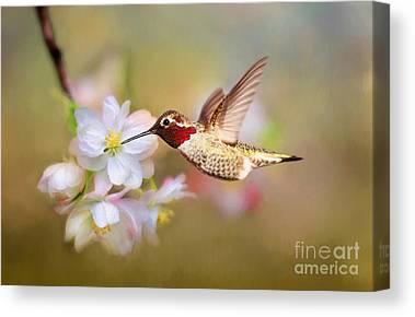Allens Hummingbird Canvas Prints