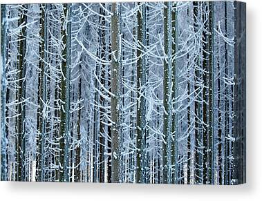 Fir Trees Photographs Canvas Prints