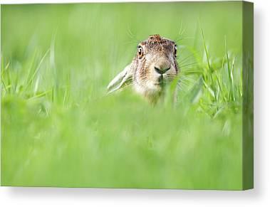 European Hare Canvas Prints