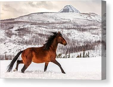 Rocky Mountain Horse Canvas Prints