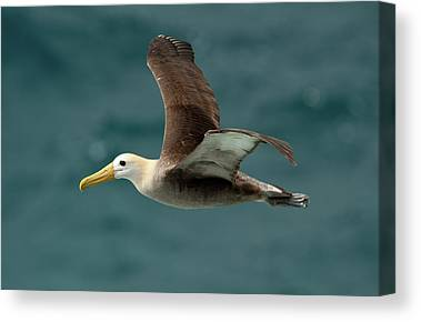 Waved Albatross Canvas Prints