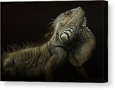 Iguanas Canvas Prints