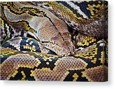 Reticulated Pythons Canvas Prints