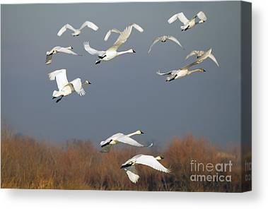 Tundra Swan Canvas Prints