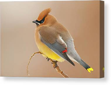 Cedar Waxing Canvas Prints