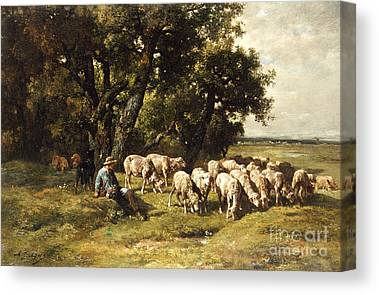 Shorn Sheep Canvas Prints