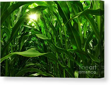 Corn Field Canvas Prints
