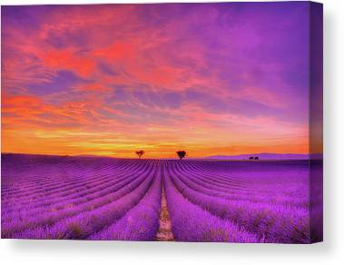 Lavender Canvas Prints