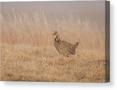Wisconsin Prairie Chickens Canvas Prints