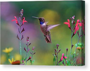Male Hummingbird Canvas Prints