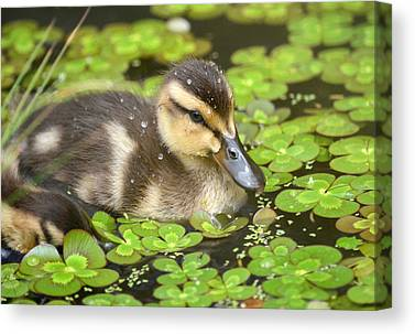 Baby Mallards Photographs Canvas Prints