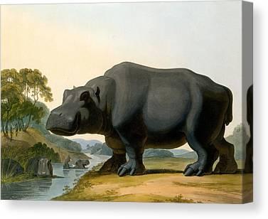 Hippopotamus Drawings Canvas Prints