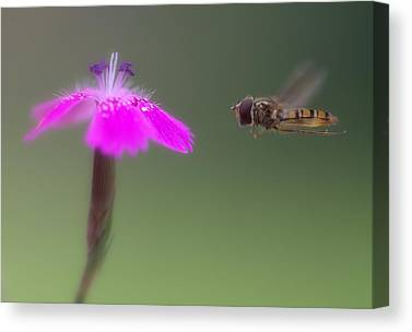 Hoverfly Canvas Prints