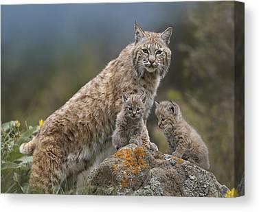 Felidae Canvas Prints