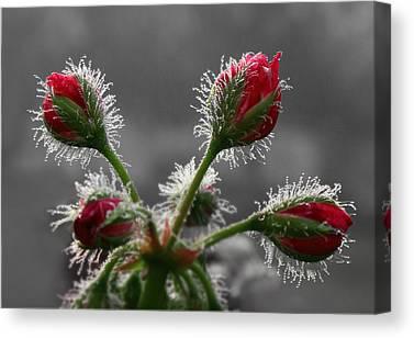 Macro Geranium Flower Canvas Prints