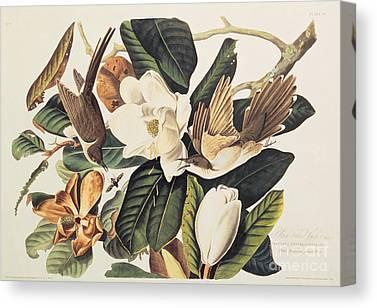 Audubon Drawings Canvas Prints