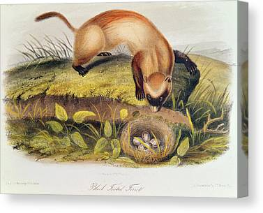 Black-footed Ferret Paintings Canvas Prints