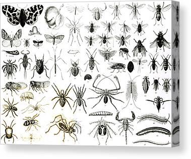 Millipedes Canvas Prints