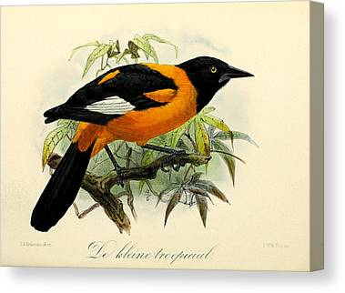 Oriole Canvas Prints