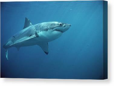 Shark Fin Canvas Prints Fine Art America