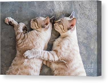A litter of Moggie kittens in cups Canvas Wall Art Picture Print