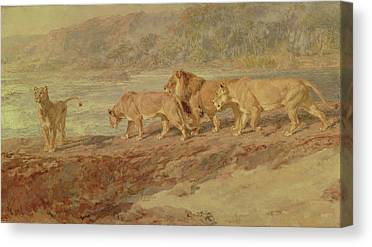 Lion Drinking Water Canvas Prints