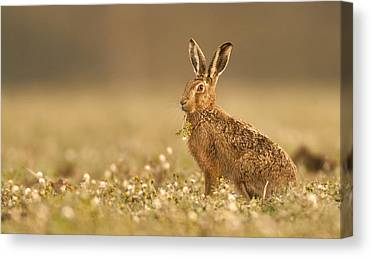 Brown Hare Canvas Prints
