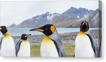 Designs Similar to King Penguin Rookery In St