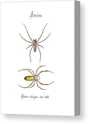 Nephilidae Nephila Canvas Prints