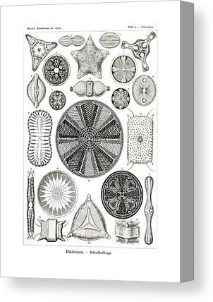 Biddulphia Pulchella Canvas Prints
