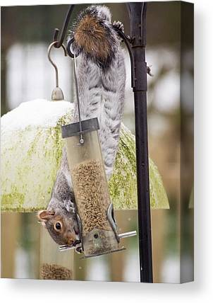 Sciurus Carolinensis Canvas Prints