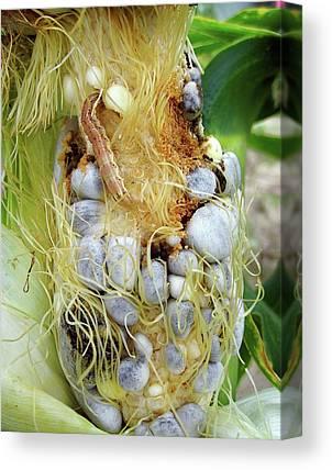 Corn Earworm Canvas Prints