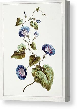 Convolvulaceae Canvas Prints
