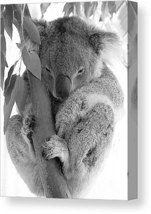 Koala Canvas Prints